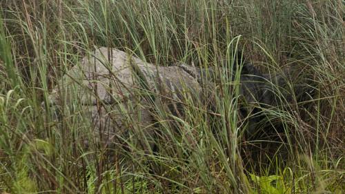 Rhino no. 5